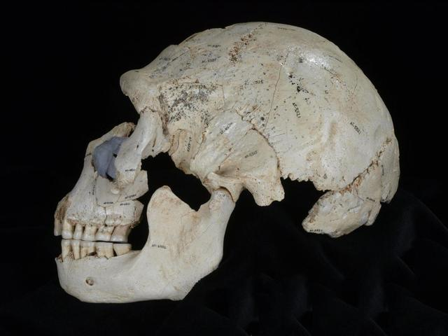 An undated picture shows Skull 15 from the Sima de los Huesos site in Sierra de Atapuerca, Spain.  REUTERS/Copyright Javier Trueba/Madrid Scientific Films/Handout via Reuters