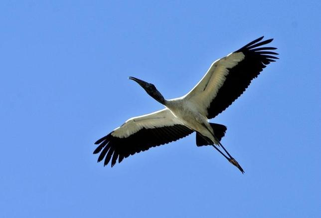 A Wood Stork (Mycteria Americana) flies in Palo Verde National Park in Bagaces, Guanacaste, some 200 miles northwest of the Costa Rican capital San Jose, March 9, 2004.