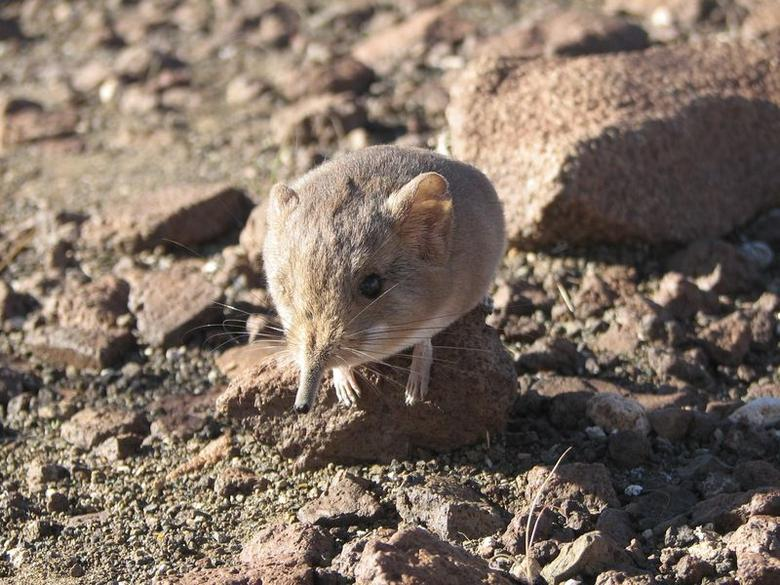 A Macroscelides micus elephant shrew found in the remote deserts of southwestern Africa is shown in this handout photo from the California Academy of Sciences released to Reuters on June 26, 2014. REUTERS/California Academy of Sciences/Handout via Reuters