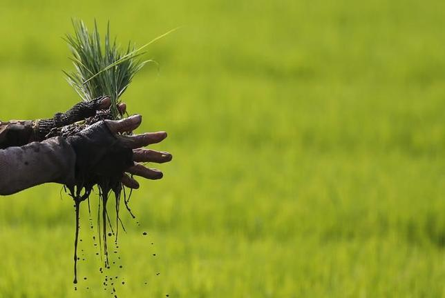 A farmer holds a bundle of paddy seeds at a rice field in Cianjur, West Java province June 12, 2014.     REUTERS/Beawiharta