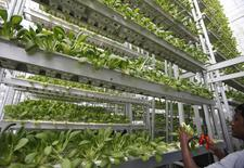 A worker harvests fresh produce from a tower at Sky Greens vertical farm in Singapore July 30, 2014.    REUTERS/Edgar Su