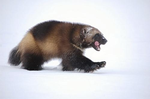 A wolverine walks across the snow in this U.S. Fish and Wildlife Service (USFWS) photo taken March 16, 2009.  REUTERS/Steve Kroschel/US Fish and Wildlife Service/Handout