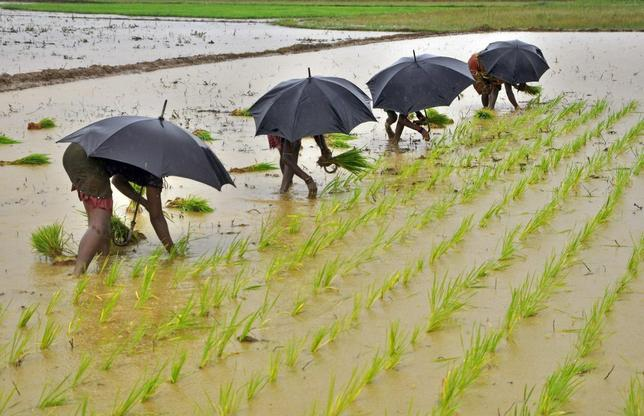 Labourers plant saplings in a paddy field on the outskirts of Bhubaneswar July 19, 2014. REUTERS/Stringer/Files