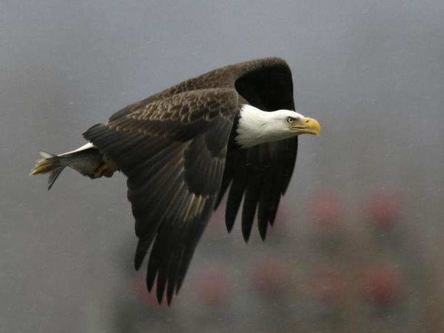 A bald eagle returns to its nest after catching a fish at the Conowingo Dam on the Susquehanna River in Maryland, in this file photo taken November 26, 2013. REUTERS/Gary Cameron