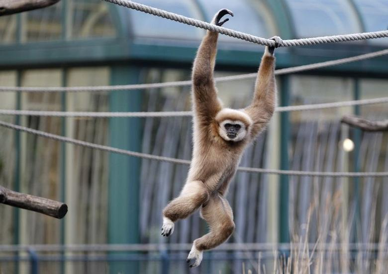 A white-handed gibbon swings on a rope on at 'Tiergarten Schoenbrunn' Zoo in Vienna in this January 10, 2012 file photo. REUTERS/Lisi Niesner/File