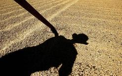 La sombra de un trabajador mientras seca granos de café en una planta procesadora al norte de San José. Imagen de archivo, 27 enero, 2004. La Organización Internacional de Café (OIC) espera que la producción mundial de café caiga por debajo de la demanda este año y el próximo, dijo el viernes su jefe de operaciones. REUTERS/Juan Carlos Ulate