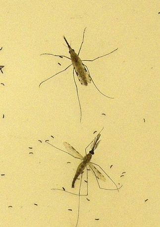 This 2010 Centers for Disease Control and Prevention (CDC) photo shows two ''Anopheles gambiae'' mosquitoes, the principal vector of malaria in Africa, as the female (top) is in the process of egg-laying atop a sheet of egg paper pictured with the male (bottom). REUTERS/Mary F Adams/CDC