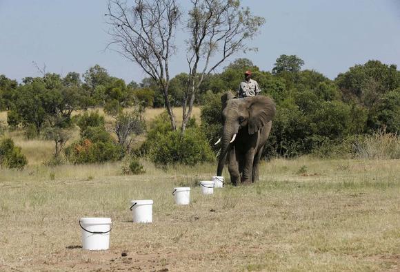 Тренування слона з пошуку вибухівки