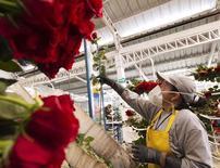 Imagen de archivo de una trabajadora midiendo una flor en la planta Unique en Tabacundo, Ecuador, ene 22 2015. La caída del precio del crudo y el fortalecimiento del dólar están pasando factura a las rosas ecuatorianas, cuyas ventas a uno de sus principales mercados bajaron a casi la mitad, colocando en crisis al sector floricultor del país, dijo el jueves un dirigente gremial.   REUTERS/Guillermo Granja