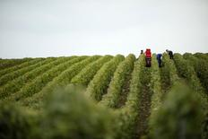 Grape pickers harvest fruit from the vines at a vineyard in Mailly-Champagne, eastern France during the traditional Champagne wine harvest October 8, 2013.  REUTERS/Benoit Tessier