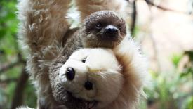 Two-toed baby sloth Edward Scissorhands hangs onto a teddy bear in this handout photograph taken at London Zoo July 24, 2015 and released July 31, 2015. REUTERS/ZSL/Handout via Reuters