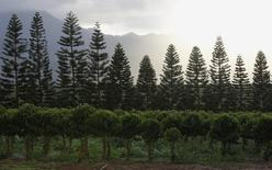 Coffee trees (front row) are seen at Dole Food Company's Waialua coffee and cocoa farm in Waialua on the North Shore of Oahu, in Hawaii November 9, 2011. REUTERS/Yuriko Nakao