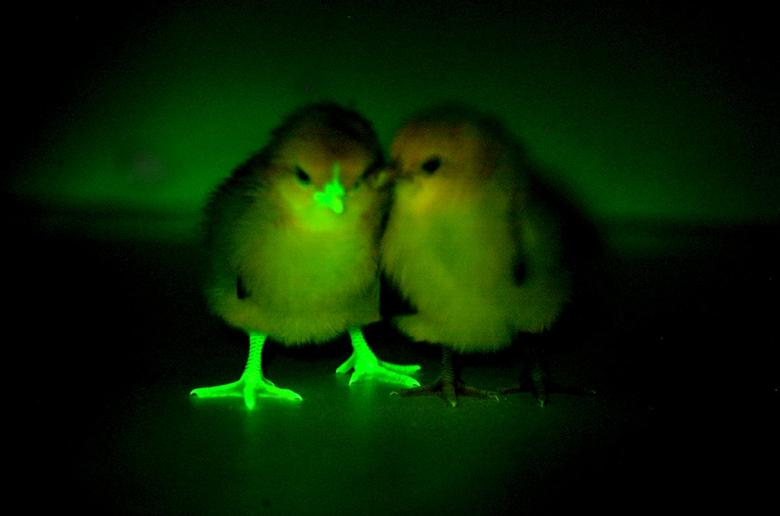 A baby chick, genetically modified to block transmission of bird flu, glows under an ultraviolent light, next to a chick that has not been modified, in this undated handout photo provided by Norrie Russell of The Roslin Institute, University of Edinburgh.  REUTERS/Norrie Russell of The Roslin Institute, University of Edinburgh/Handout via Reuters