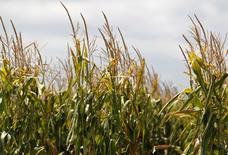 Un maizal en Totoras, Argentina, feb 1, 2012. La cosecha del maíz de uso comercial 2014/15 de Argentina alcanzó los 26,3 millones de toneladas, levemente por encima de los 26 millones estimados previamente, gracias a los elevados rendimientos del cultivo en el norte del país, dijo el jueves la Bolsa de Cereales de Buenos Aires.  REUTERS/Enrique Marcarian