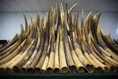 Ivory tusks are displayed after the official start of the destruction of confiscated ivory in Hong Kong May 15, 2014. REUTERS/Tyrone Siu