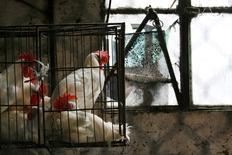 Imagen de archivo de una caja con pollos en una granja en La Habana, feb 23, 2008. Cuba compró al menos 13 millones de kilos de pollos de Estados Unidos para entregar en octubre, dijeron el miércoles operadores a Reuters, lo que suspende una prohibición de dos meses cuando el Gobierno cubano dejó de importarlos debido a una epidemia de gripe aviaria.  REUTERS/Claudia Daut