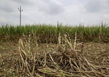 Cañas de azúcar parcialmente dañadas en Pune, India, sep 15, 2015. El reciente avance del azúcar estaría lejos de acabar, según una sondeo entre una docena de analistas y operadores que consideran que los precios están camino a máximos de un año hacia marzo, porque el mercado enfrentará su primer déficit de oferta en seis años.   REUTERS/Danish Siddiqui