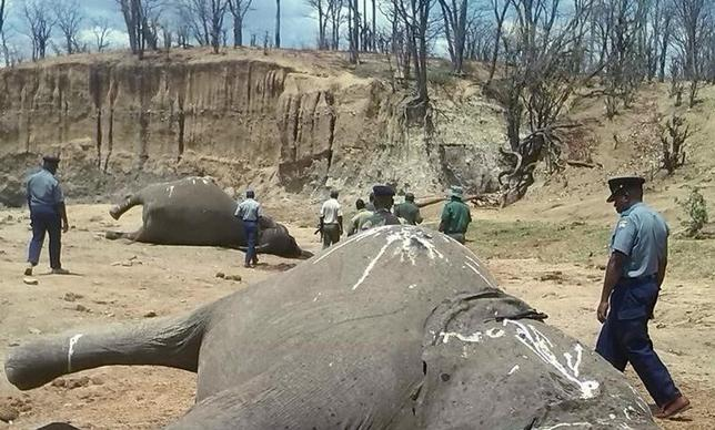 A group of elephants, believed to have been killed by poachers, lie dead at a watering hole in Zimbabwe's Hwange National Park October 26, 2015. Picture taken October 26, 2015. REUTERS/Stringer