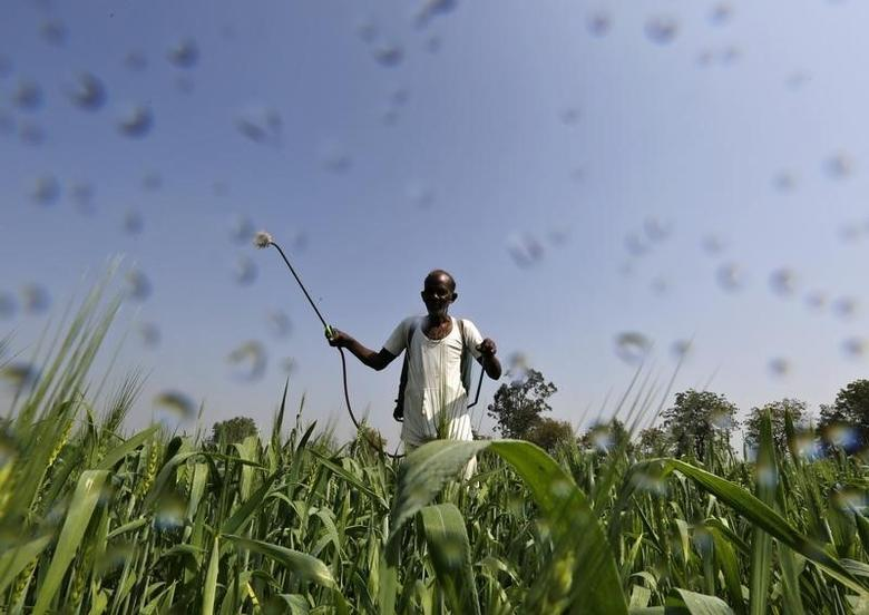 A farmer sprays a mixture of fertilizer and pesticide onto his wheat crop on the outskirts of Ahmedabad February 18, 2015. REUTERS/Amit Dave/Files