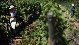 Trabajadores recogen uvas en la viña MontGras, en el valle de Colchagua, al sur de Santiago, 25 de marzo de 2010. Miles de hectáreas abarrotadas de uvas son cosechadas cada otoño en el fértil centro de Chile para transformarse en exquisitos vinos, pero la centenaria tradición de esta multimillonaria industria de exportación corre peligro por el cambio climático. REUTERS/Marco Fredes