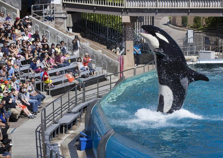 Visitors are greeted by an Orca killer whale as they attend a show featuring the whales during a visit to the animal theme park SeaWorld in San Diego, California in this file photo dated March 19, 2014.  REUTERS/Mike Blake
