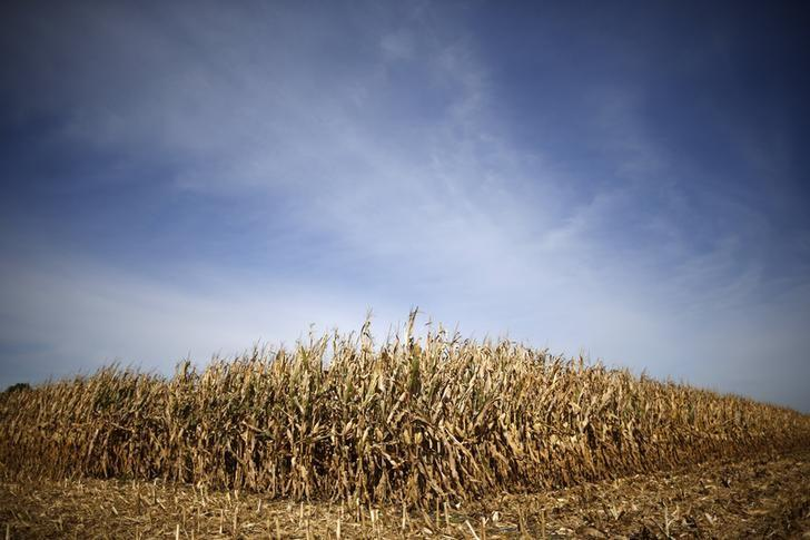 Rows of corn wait to be harvested in a field in Minooka, Illinois, September 24, 2014.. REUTERS/Jim Young