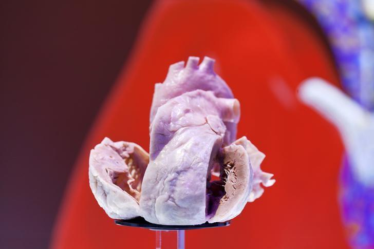 A plastinated human heart is on display at the European Society of Cardiology meeting venue in Amsterdam September 2, 2013.  REUTERS/Cris Toala Olivares