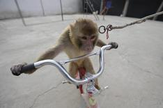 A monkey rides a bicycle during a daily training session at a monkey farm in Baowan village, Xinye county of China's central Henan province, February 2, 2016.  REUTERS/Jason Lee