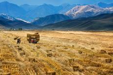 Imagen de archivo de un cultivo en Yili, China, oct 3, 2015. Las autoridades chinas han advertido a los comerciantes y productores agrícolas que no usen semillas genéticamente modificadas (GM) que no estén aprobadas en la principal zona de cultivos, poco después de que Greenpeace dijera que había encontrado una extendida contaminación transgénica en el maíz.      REUTERS/China Daily  IMAGEN CON RESTRICCIÓN DE USO EN CHINA