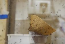 Mosquitos Aedes aegypti em laboratório da AIEA em Seibersdorf.  10/2/2016.    REUTERS/Leonhard Foeger