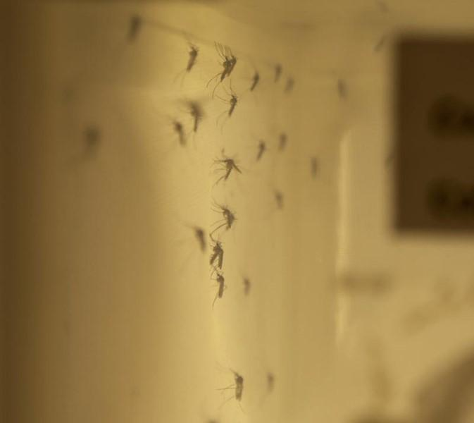 A colony of adult Culiseta inornata mosquitoes which will be assessed for Zika virus vector competence, the ability to receive a disease agent microorganism from a host and transmit the infectious agent to another host, is shown at the National Microbiology Laboratory of Canada in Winnipeg, Manitoba on February 16, 2016 in this photo released on February 18, 2016.  REUTERS/Health Canada/Handout via Reuters