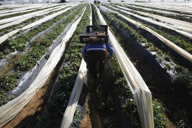 A farmer picks strawberries, to be exported, in a field in the town of Moulay Bousselham in Kenitra province March 15, 2014. The local strawberry growers use the multi-layers planting method to gain two times more strawberries than usual. REUTERS/Youssef Boudlal