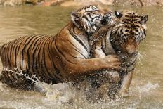 Tigers play at the Tiger Temple in Kanchanaburi province, west of Bangkok, Thailand, February 25, 2016. REUTERS/Chaiwat Subprasom
