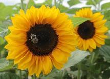 Пчела собирает пыльцу с подсолннуха в поле у селения Бидермансдорф, Австрия, 21 июня 2012 года. Пчелы и другие опылители столкнулись с угрозой своему существованию, что, в свою очередь, представляет риск для выращивания яблок, голубики и кофе, приносящего сотни миллиардов долларов ежегодно, показала опубликованная в пятницу первая глобальная оценка опылителей. REUTERS/Heinz-Peter Bader
