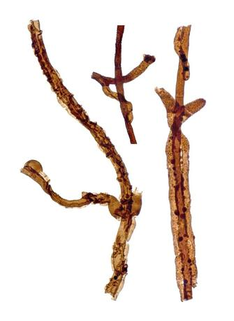 Three filaments of Tortotubus from Gotland, Sweden, showing the growth of secondary branches along the main filament, is shown in this image released on March 2, 2016. REUTERS/Martin R. Smith/Handout