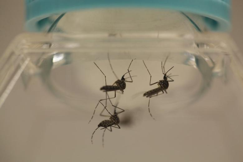Aedes aegypti mosquitoes are seen at the Laboratory of Entomology and Ecology of the Dengue Branch of the U.S. Centers for Disease Control and Prevention in San Juan, March 6, 2016. Picture taken March 6, 2016. REUTERS/Alvin Baez  - RTS9ZRV