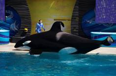 A trainer shows the crowd an orca during a show at the animal theme park SeaWorld in San Diego, March 19, 2014. REUTERS/Mike Blake