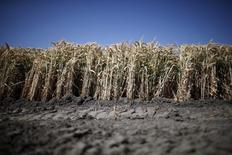 Imagen de archivo de un trigal en Los Banos, EEUU, mayo 5, 2015. El Departamento de Agricultura de Estados Unidos elevó el martes las perspectivas sobre los suministros domésticos de trigo a su nivel más alto desde 1987, ante un debilitamiento de la demanda en el sector de alimentos.        REUTERS/Lucy Nicholson