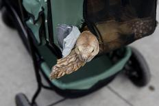 Tartaruga Henry é vista passeando em seu carrinho, em Nova York  19/05/2016 REUTERS/Shannon Stapleton