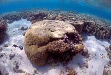 Крупный кусок коралла в лагуне Острова Леди-Эллиот Большого барьерного рифа у восточного побережья Австралии. 9 июня 2015 года. По меньшей мере 35 процентов северной и центральной части Большого Барьерного рифа погибло из-за массового обесцвечивания кораллов, сообщили в понедельник австралийские учёные. REUTERS/David Gray/File photo