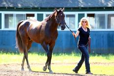 Jun 7, 2016; Elmont, NY, USA; Exaggerator is walked by a trainer after training in preparation for the 148th running of the Belmont Stakes at Belmont Park. Mandatory Credit: Brad Penner-USA TODAY Sports
