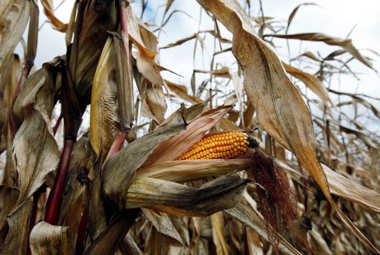 A field of corn is seen in Embrun, Ontario, October 16, 2010.  REUTERS/Shaun Best