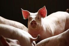 Свиньи в свиноводческом комплексе под Варшавой. 10 апреля 2014 года. Россия зафиксировала вспышку африканской чумы свиней (АЧС) в Саратовской области, сообщил Россельхознадзор. REUTERS/Kacper Pempel