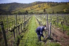 Un hombre trabajando en una viña en Casablanca, al oeste de Santiago, Chile. 30 de octubre de 2015. Las acciones de productoras chilenas de vino sufrían fuertes caídas el viernes en la bolsa local, en medio de expectativas de que la decisión de Reino Unido de abandonar la Unión Europea (UE) pueda afectar las ventas en ese país. REUTERS/Ivan Alvarado - RTX1VISB