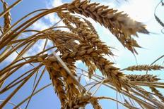 Пшеница на поле рядом с украинским городом Николаевым. Украина, скорее всего, соберет в 2016 году около 63 миллионов тонн зерна, на три миллиона больше чем в прошлом году, сказал представитель Министерства аграрной политики Леонид Сухомлин на брифинге в среду.  REUTERS/Vincent Mundy