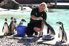 A zoo keeper weighs Humboldt penguins during the annual weigh-in at London Zoo in London, Britain August 24, 2016. REUTERS/Neil Hall