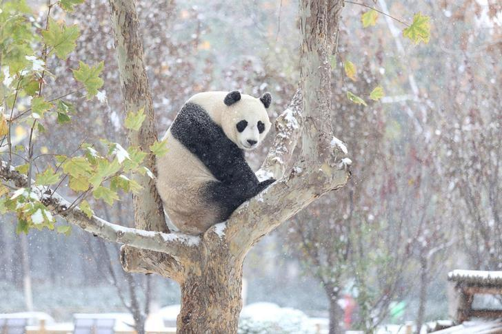 A giant panda sits on a tree during the first snow in Jinan, Shandong province, November 24, 2015. REUTERS/Stringer/Files