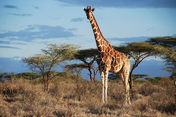 A Reticulated giraffe is seen in Samburu National Park, Kenya in this undated handout picture.  Courtesy Julian Fennessy/Handout via REUTERS