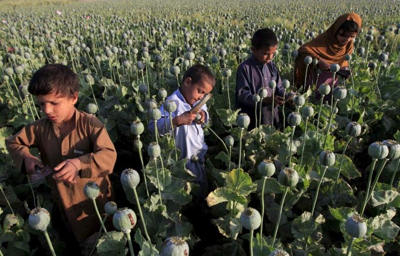 Afghan children gather raw opium on a poppy field on outskirts of Jalalabad, April 28, 2015. REUTERS/Parwiz