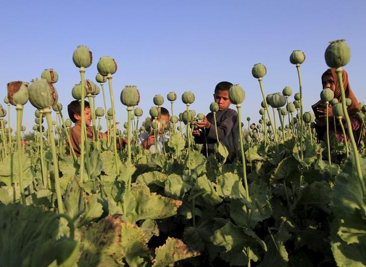 Afghan children gather raw opium on a poppy field on the outskirts of Jalalabad, April 28, 2015. REUTERS/ Parwiz/Files